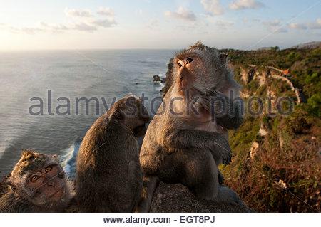 Monkeys along the cliffs next to the Ulu Watu temple Pura Luhur. Bali. Uluwatu Temple is a Hindu temple set on the - Stock Photo