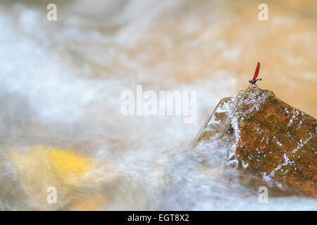 Dragonfly perched on rock in rainforest stream. Kaeng Krachan National Park. Thailand. - Stock Photo