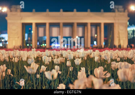 white tulips on a warm summer evening - Stock Photo