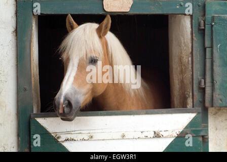 Horse(Equus ferus caballus)  looks out of his box - Stock Photo
