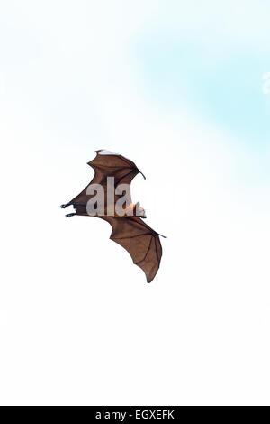 Indian Flying Fox (Pteropus giganteus) - Stock Photo
