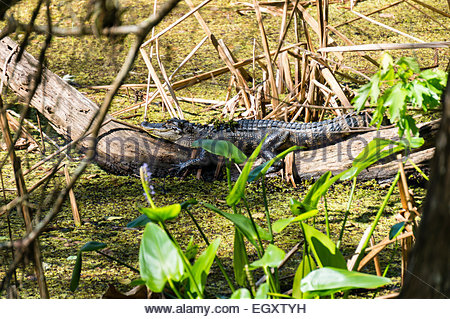 A young alligator rests on a log in the swamp at Audubon Corkscrew Swamp Sanctuary in Naples, Florida - Stock Photo