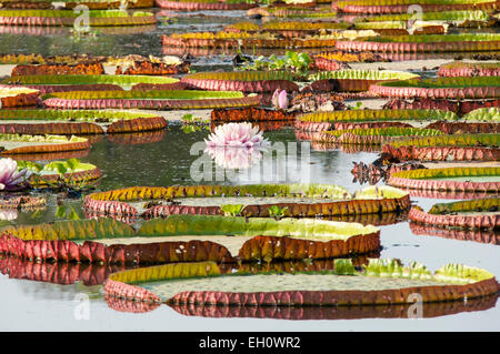 Giant Waterlilies, Victoria Amazonica, formerly called Victoria Regia, Panantal, Mato Grosso, Brazil, South America - Stock Photo