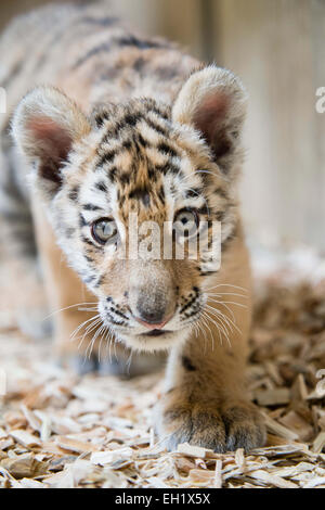 Tierpark Berlin, Germany. 5th Mar, 2015. 12-week-old baby tigress Alisha walks around her cage at Tierpark Berlin, - Stock Photo