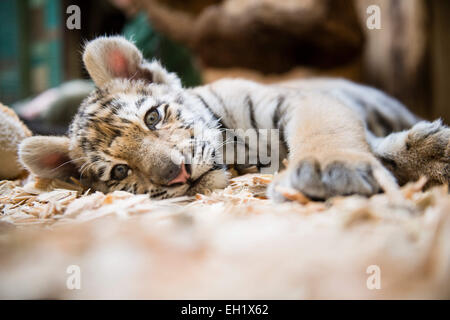 Tierpark Berlin, Germany. 5th Mar, 2015. 12-week-old baby tigress Alisha lies in her cage at Tierpark Berlin, Germany, - Stock Photo