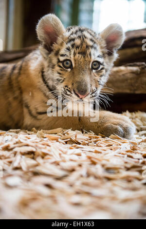 Tierpark Berlin, Germany. 5th Mar, 2015. 12-week-old baby tigress Alisha sits in her cage at Tierpark Berlin, Germany, - Stock Photo