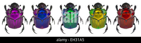 fantasy colors on Oxysternon conspicillatum. true color in the middle specimen - Stock Photo