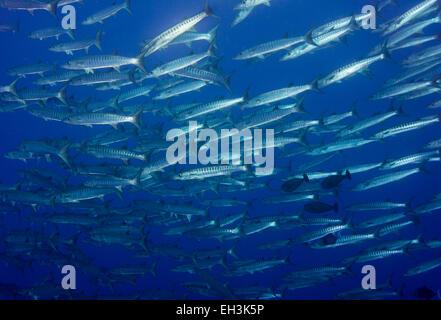 School of Blackfin Barracuda (Sphyraena qenie), Palau - Stock Photo