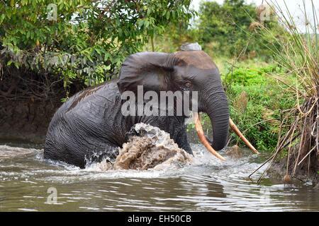 Gabon, Ogooue Maritime Province, Loango National Park, Akaka site in the Fernan Vaz Lagoon, African forest elephant - Stock Photo