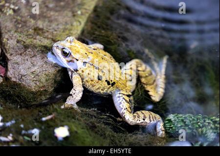 Common frog Rana temporaria in uk garden pond - Stock Photo