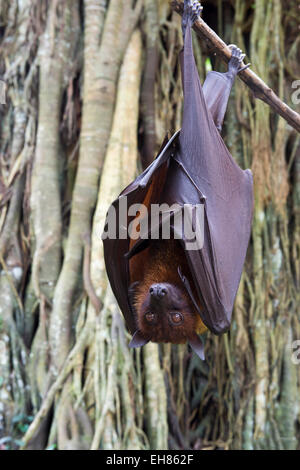 Large flying fox (Pteropus vampyrus) hanging in a tree, Bali, Indonesia, Southeast Asia, Asia - Stock Photo
