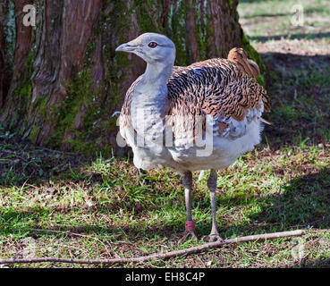 Great Bustard (otis tarda) female - Stock Photo