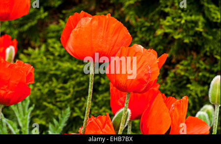 Close-up of bright orange red oriental poppies in flower in garden against background of green evergreen shrub, - Stock Photo