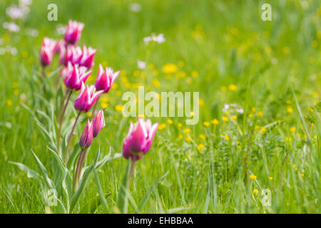 Violet Tulips in a row on a summer field - Stock Photo