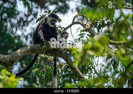 A black and white (Abyssinian) colobus monkey (mantled guereza) and her offspring up a tree. - Stock Photo