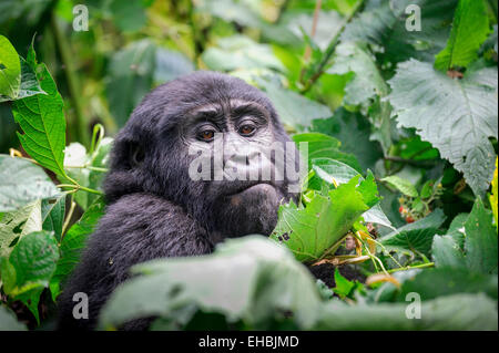 A wild but habituated juvenile mountain gorilla (G. beringei beringei) in dense vegetation, Bwindi Forest, Uganda. - Stock Photo