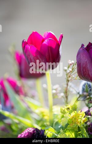 Purple tulip, tulipa passionale, in the sun. - Stock Photo
