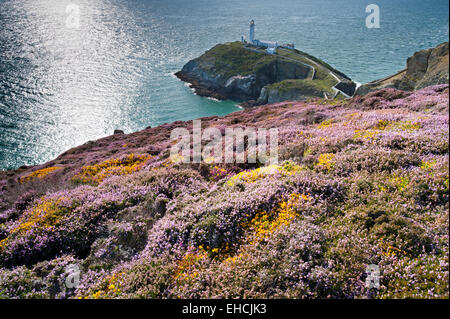 Summer Heather at South Stack Lighthouse, Isle of Anglesey, North Wales, UK - Stock Photo