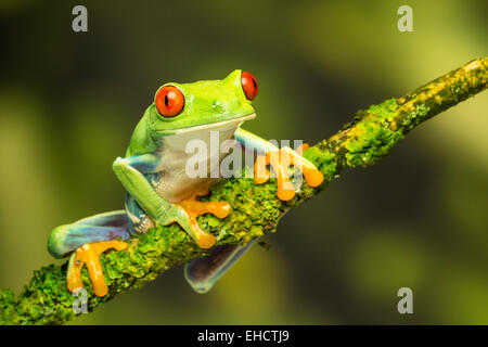Red Eyed Green Tree Frog on Branch - Stock Photo