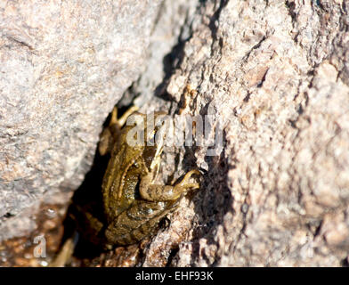 European common brown frog on stone - Stock Photo