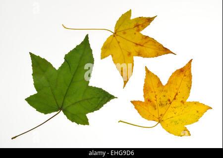American Sweetgum / Redgum (Liquidambar styraciflua) close up of leaves in autumn colours, native to the USA, white - Stock Photo