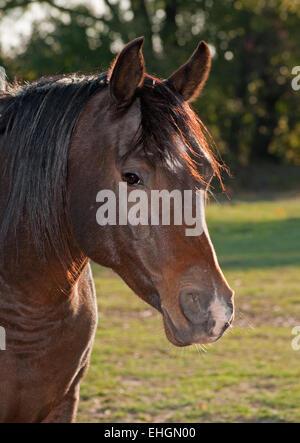 Closeup of a dark bay Arabian horse in morning sun - Stock Photo