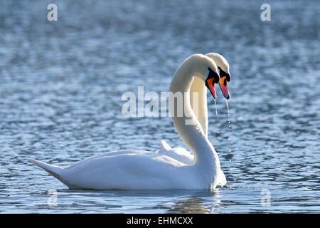 Mute Swans (Cygnus olor), pair, courtship behaviour, Lake Zug, Canton of Zug, Switzerland - Stock Photo