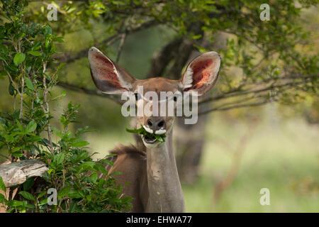 Female Greater kudu (Tragelaphus strepsiceros) chewing some leaves. - Stock Photo