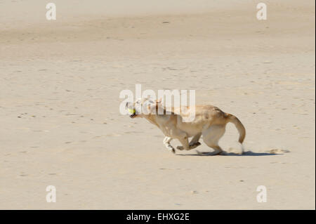Yellow Labrador Retriever running fast with a ball on its mouth at the beach - Stock Photo