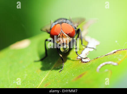 Fly on a leaf blowing a bubble, Okinawa, Japan - Stock Photo