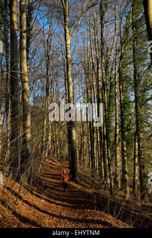 Woman walking along path through beech trees in autumn, Radyr, near Cardiff, South Wales, UK - Stock Photo