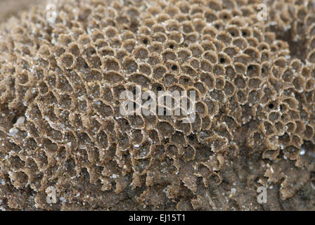 Honeycomb Worm - Sabellaria alveolata - Stock Photo