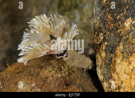 Bispira volutacornis - Stock Photo