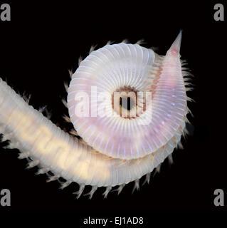 Glycera tridactyla - Stock Photo