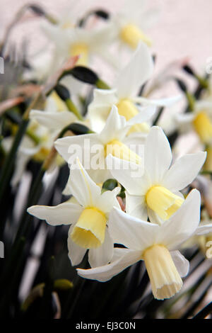 Narcissus 'Toto' AGM - Stock Photo