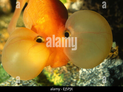 Bubble Eye Goldfish, Carassius auratus, Ciprinidae - Stock Photo