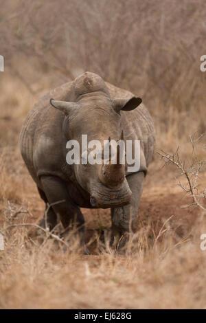 Rhino Hlane game reserve Swaziland - Stock Photo