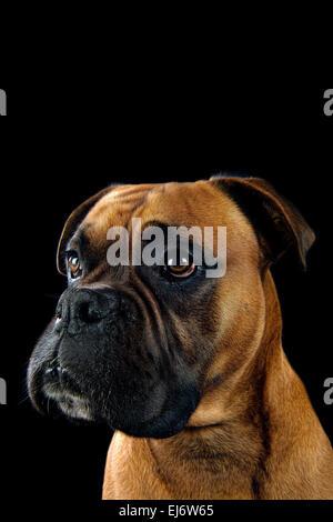 Beautiful portrait of a boxer dog on black background - Stock Photo