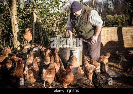 A farmer holding a feed bucket, surrounded by a flock of hungry chickens. - Stock Photo