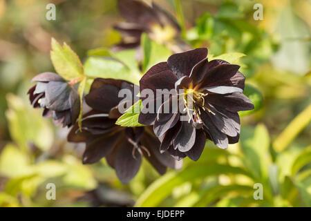 Helleborus niger Christmas rose or black hellebore an evergreen perennial flowering plant full bloom - Stock Photo