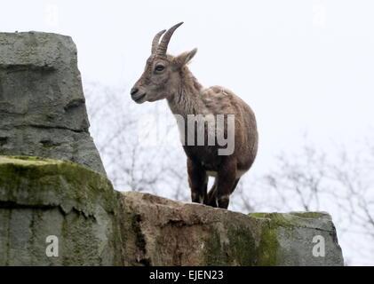 Alpine ibex  or Steinbock (Capra ibex) - Stock Photo