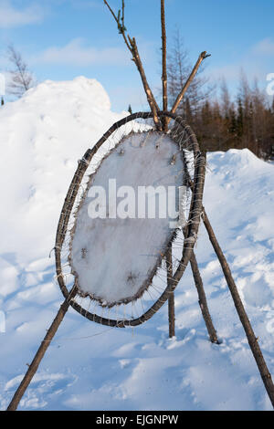 Beaver pelt stretching, Cree Indigenous Communities , Northern James Bay Quebec - Stock Photo