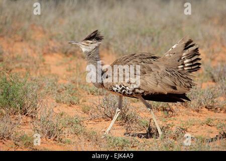 Male kori bustard (Ardeotis kori) displaying, Kalahari desert, South Africa - Stock Photo
