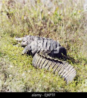 American Alligator (Alligator Mississippiensis) Basking In The Sun In  Florida Wetlands - Stock Photo