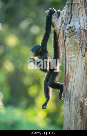 Black spider monkey, Ateles paniscus, Suriname, South America - Stock Photo