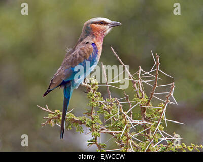 Lilac-breasted roller perched on acacia - Stock Photo