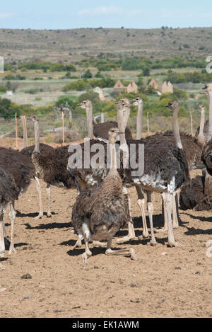 Female ostriches (Struthio camelus) farmed for their meat on a commercial farm in Oudtshoorn, Western Cape, South - Stock Photo