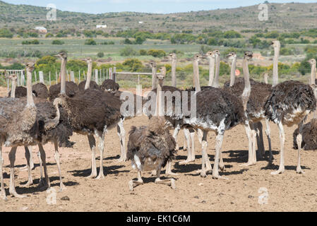 Ostriches (Struthio camelus) farmed for their meat and feathers on a commercial farm in Oudtshoorn, Western Cape, - Stock Photo