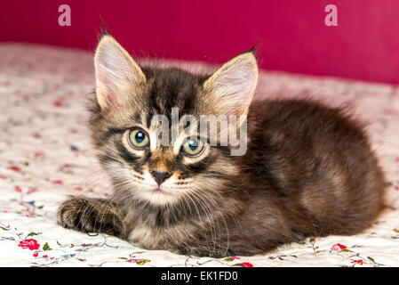 beautiful purebred kitten lying on the bed - Stock Photo