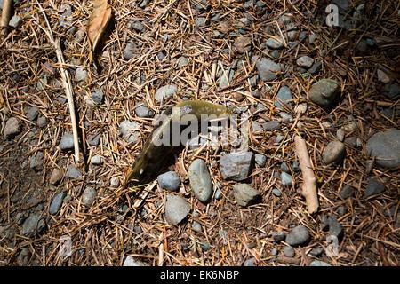 North America, Canada, British Columbia, Vancouver Island, Elk Falls Provincial Park, Pacific Banana Slug, Ariolimax - Stock Photo